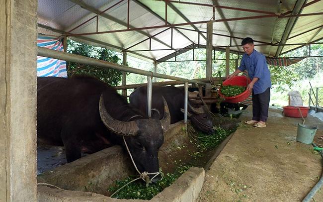Trang trại trâu, bò vỗ béo mang lại hiệu quả kinh tế cao