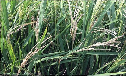 Lào Cai: Phòng, trừ bệnh đạo ôn cổ bông và rầy hại lúa Xuân